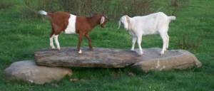 rota-spring-goats